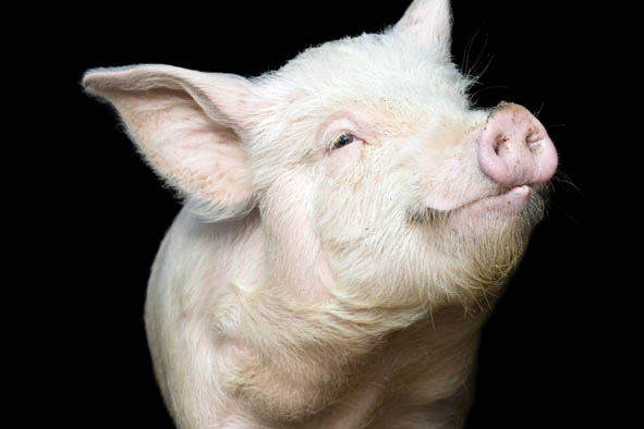 Portrait of a cute pig, on black background